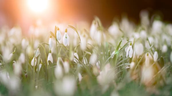 Photo by Simon Matzinger from Pexels of snowdrops at dawn